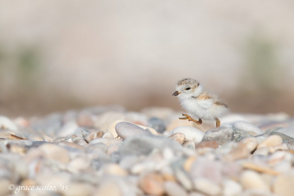 piping-plover-chick-striding2_d0o7449