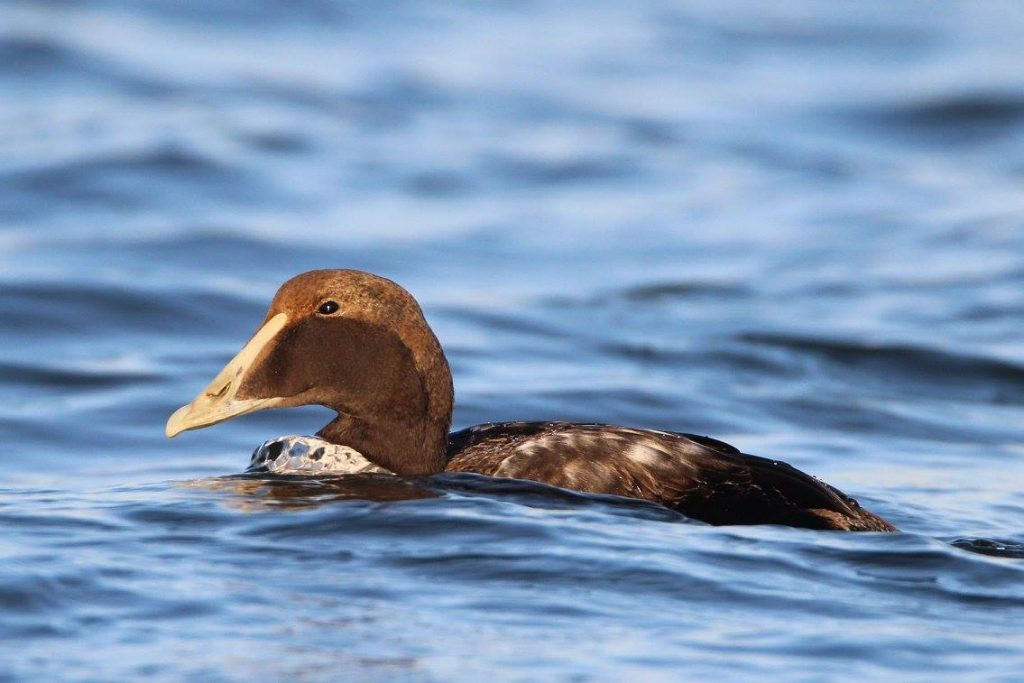 bob-savage-common-eider