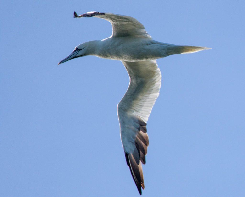 brian-doherty-northern-gannet