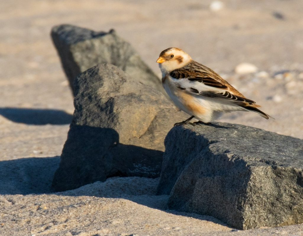 brian-doherty-snow-bunting