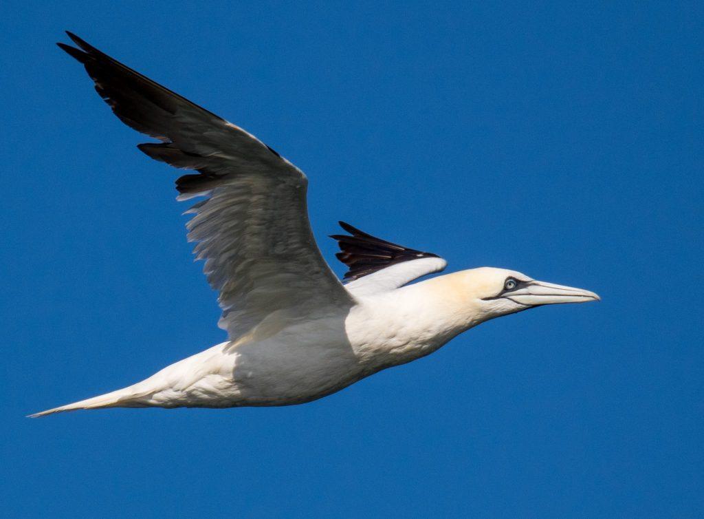 brian-dohery-northern-gannet