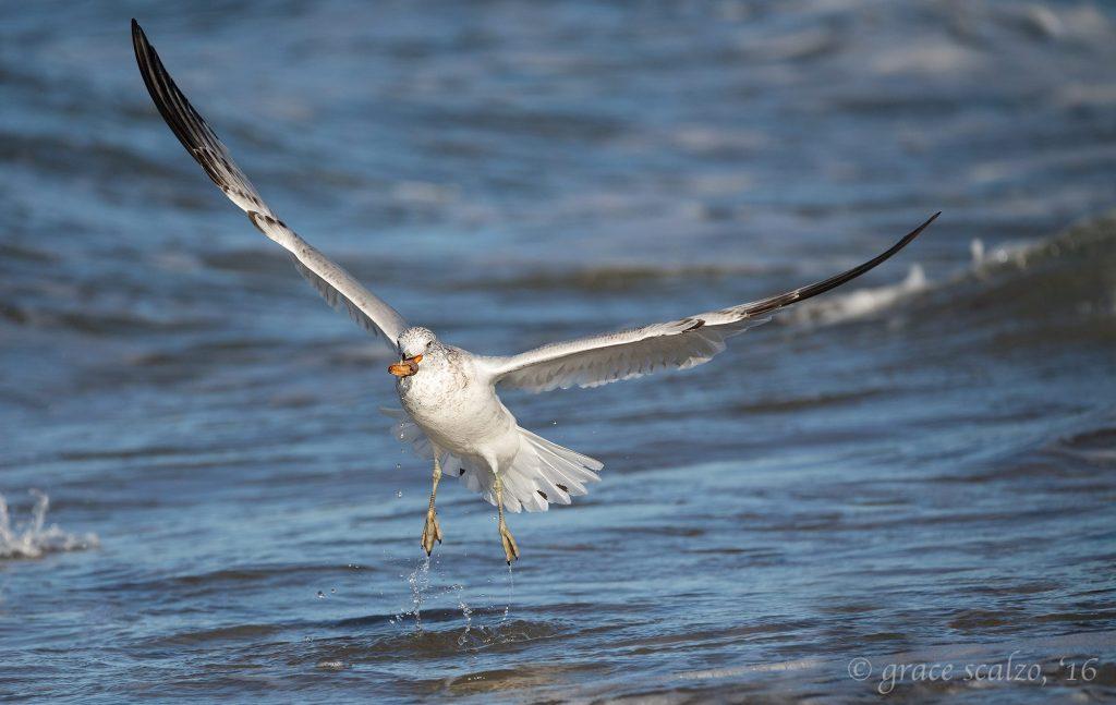 grace-scalzo-seagull