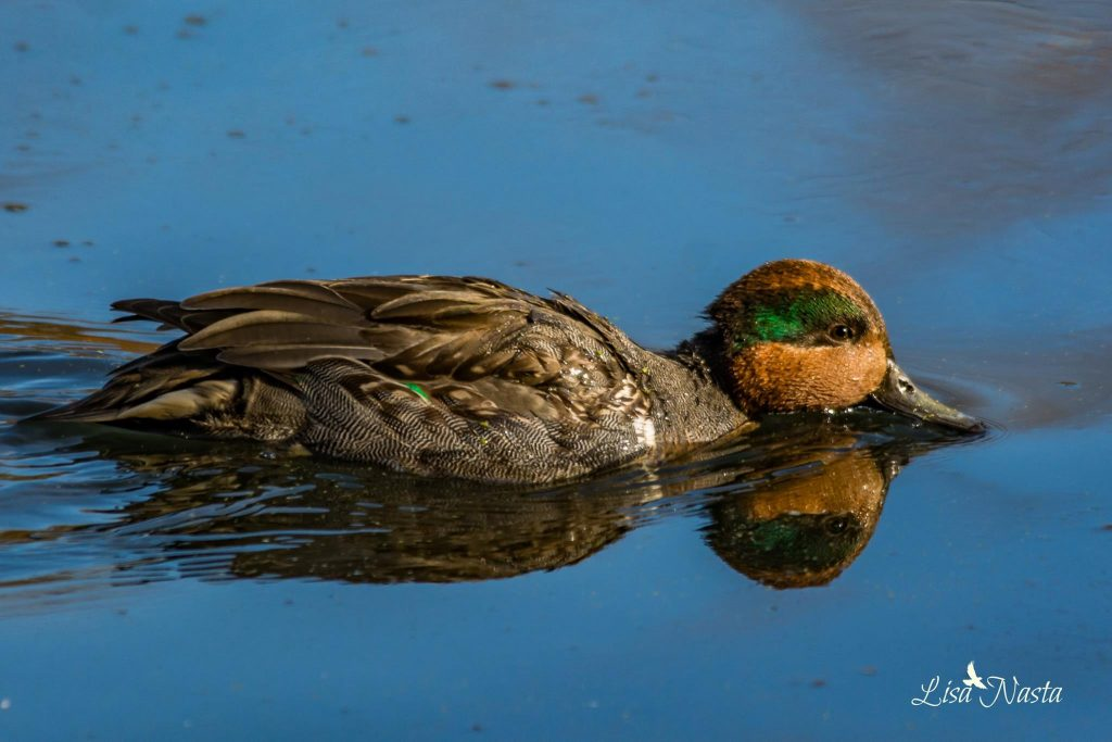 lisa-nasta-green-winged-teal