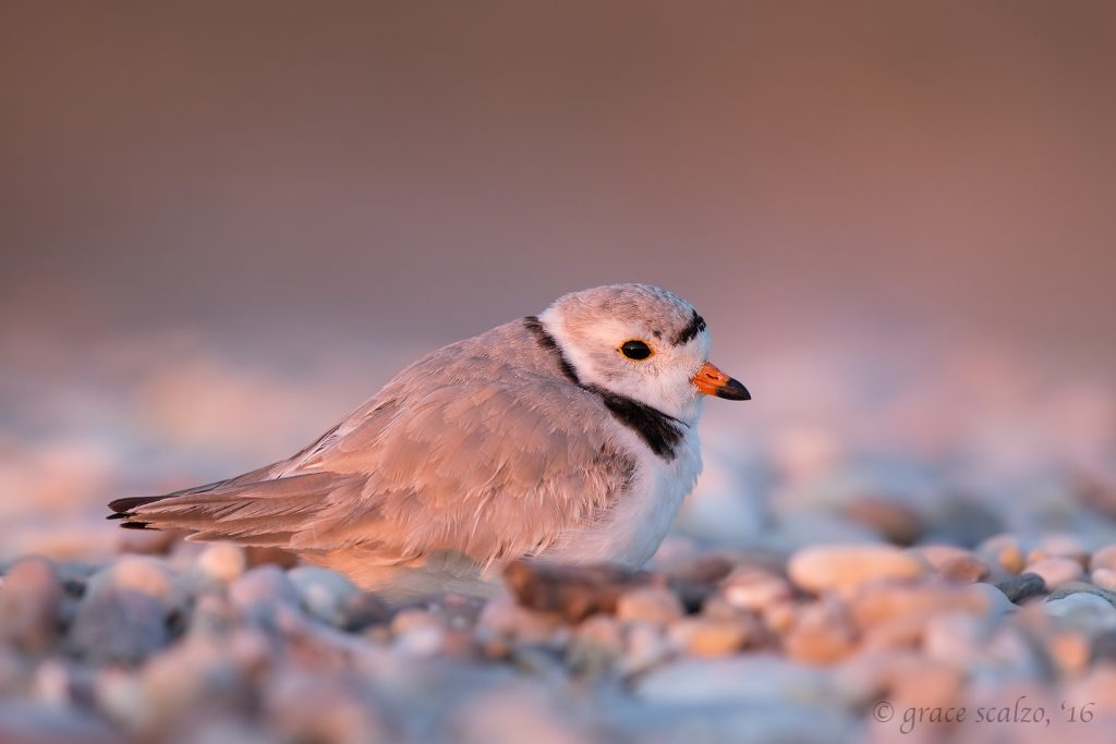 piping-plover-on-scrape-pink_d0o4694